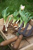Tulips with bulbs and garden tools in wooden box