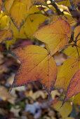 Gelbe Blätter am Amberbaum (Liquidambar formosana var. monticola) - Herbststimmung