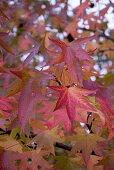 Blätter am Amberbaum (Liquidambar styraciflua Worplesdon) mit rot-gelber Herbstverfärbung