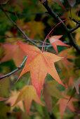 Herbststimmung - Rot-gelb verfärbtes Blatt am Amberbaum (Liquidambar styraciflua Stared)