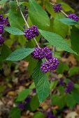 Zweig mit violetten Beeren vom Liebesperlenstrauch (Callicarpa bodinieri Profusion)