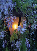 Classic lantern lit by candle amongst blue flowering wisteria