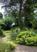 Blühender Frauenmantel im Garten