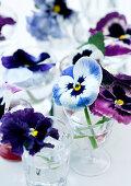 Violas in glasses