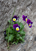Wilde Stiefmütterchen wachsen an Natursteinmauer