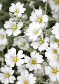 Snow-in-summer (Cerastium tomentosum) flowering in garden