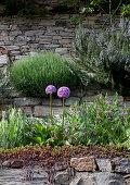 Blühender Steinmauer mit Allium