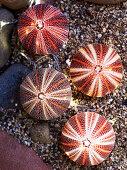 Sea urchin tests on gravel