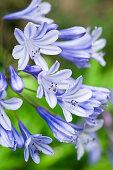 Flowering agapanthus (detail)