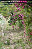 Pink climbing roses climbing over arch in idyllic garden