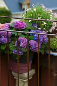 Hydrangea with violet flowers and marguerite bush behind simple balcony balustrade of metal rods