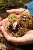 Hands holding sweet chestnuts in prickly cases