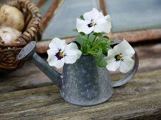 Violas in watering can on rustic wooden board