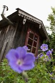 Violet cranesbill growing in front of garden shed