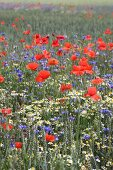 Field of poppies and cornflowers