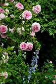 Pink rose (variety: 'Blairii No. 2') and a blue delphinium