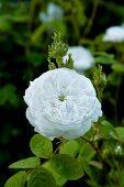 White damask rose (variety: 'Mme Hardy') flowering in garden