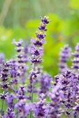 Flowering lavender