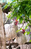 Hens behind wire fence