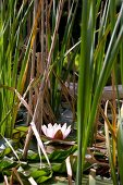 Pond with water lily and reeds