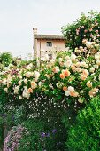 Blühende Rosenbüsche und Blumen im Garten vor Wohnhaus auf Anhöhe