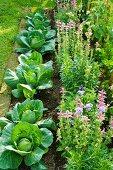 Gemüsegarten mit Kohlköpfen und blühenden Kräutern