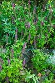 Blühender Kaukasus Gamander (Teucrium hircanicum) im Garten