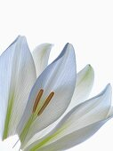Long, white petals and stamens