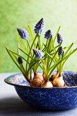 Grape hyacinths in enamel bowl