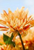 An orange dahlia