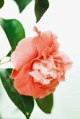 Pink camellia flower, close-up