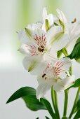 White miniature lilies