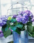 Violet hydrangeas and a globe shaped wire plant support in a flower pot