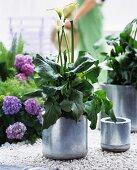 Calla lily in a pot and hydrangeas on white gravel