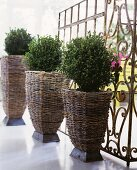 Potted boxwood in decorative wicker containers in front of a vintage, metal lattice screen