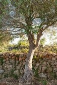 Olive tree in front of traditional stone wall on Mallorca