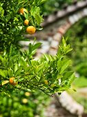Ripe tangerines on branch of small tree in sunny garden; detail of masonry arch leading to garden in blurry background