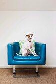 Dog posing on blue fifties armchair