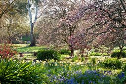 Spring in flowering park with daffodils, blue grape hyacinths and pink tree blossom