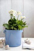 Fairy primroses in flower pot amongst bulbs of garlic