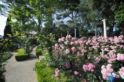 Rose arch and sumptuously flowering rose bush in gardens with topiary hedges and clearly defined paths