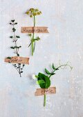 Flowering herbs and pea shoot stuck to wall with labelled masking tape