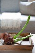 Amaryllis-Knospe mit Ziebelwurzel in Holztablett auf dem Tisch vor einem Sofa
