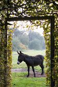 Donkey in paddock seen through climber-covered gate