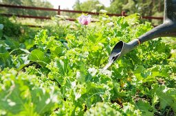 Gardner watering vegetable patch with a watering can