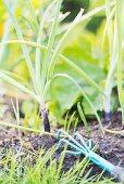 Kleiner Gartenrechen in der Erde im Zwiebelbeet