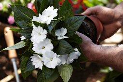 Hände nehmen Impatiens aus dem Blumentopf