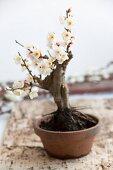 Bonsai plum tree (Prunus)