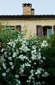 White-flowering bush in front of stone, Mediterranean house