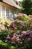 Flowering hydrangea bushes in front of traditional thatched house